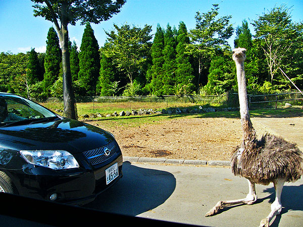 An ostrich sitting in the road, blocking a car